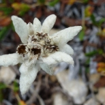 een veld Edelweiss